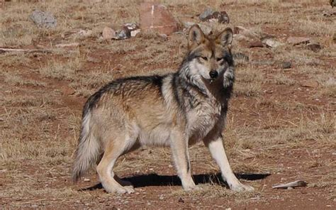 wolf serbia national animal wallpapers