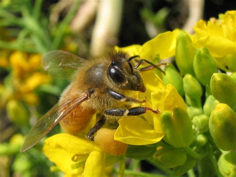 hachi top セイヨウミツバチ