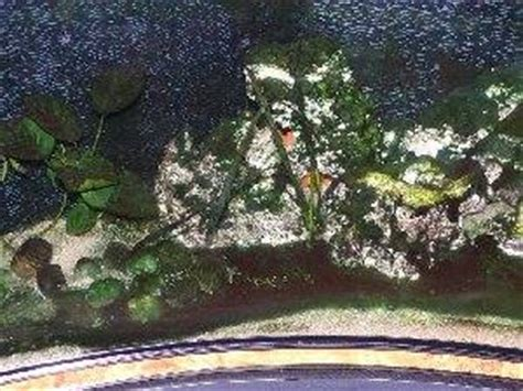 traitement algues brunes aquarium beaucoup d algues brunes flore aquatique plantes et algues d eau douce
