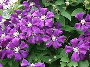 Clematis Viticella Sorten : clematis 39 etoile violett 39 clematis viticella 39 etoile ~ Lizthompson.info Haus und Dekorationen