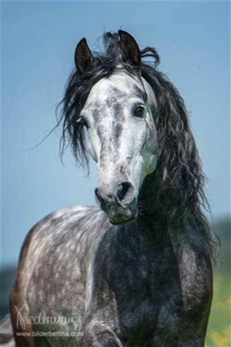 pre andalusier pferdefotografie hundefotografie
