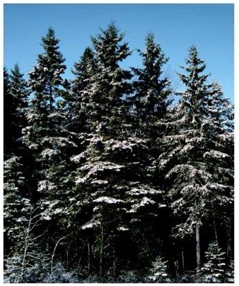 balsam fir tree water pine biomes