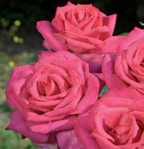 Nuance De Rose : edirose rosier grandes fleurs x x l de couleur rose ~ Melissatoandfro.com Idées de Décoration