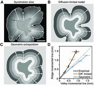 Incremental Lines In Pig Molar Tooth Show Comparable