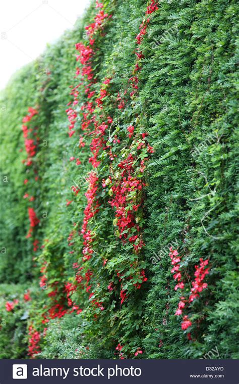 A Red Tropaeolum Speciosum Climbing Plant Growing Through