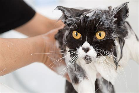 surviving  cat bath