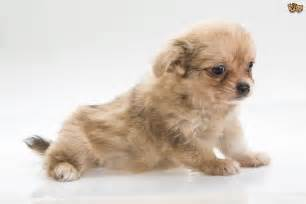Most Popular Small Dog Breeds