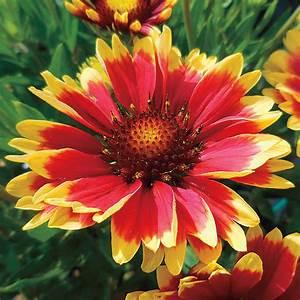 Gaillardia REALFLOR® 'Sunset Cutie' from Wayside Gardens