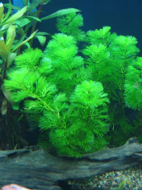 of your aquarium aquarium plants aqua kingdom live aquarium plants background plants