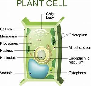 Vacuole Facts