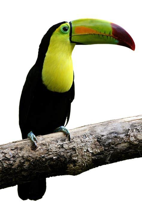 photo toucan colorful bill bird parrot beautiful fly