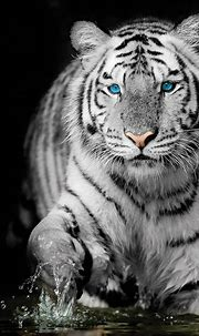 White Tiger Sapphire Stare Canvas Art in 2021 | White ...
