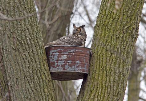 great horned owl nest box
