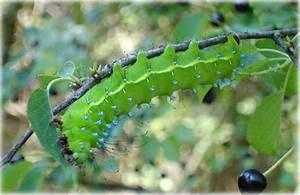 Chenille Verte Fluo : saturnia pyri ~ Nature-et-papiers.com Idées de Décoration