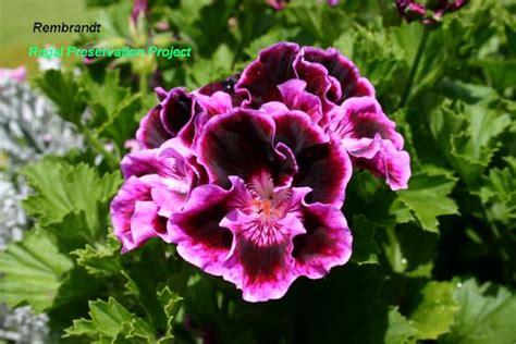 care of pelargoniums regal pelargoniums regal geraniums characteristics flowers leaves