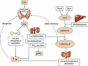 Schematic Of Calcium Homeostasis  Solid Line Represents