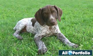 german shorthaired pointer breed dogs information all