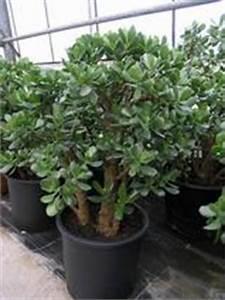 Chinesischer Geldbaum Kaufen : palmen f r die bepflanzung im garten oder wintergarten ~ Michelbontemps.com Haus und Dekorationen