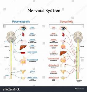 Sympathetic And Parasympathetic Nervous System  Difference