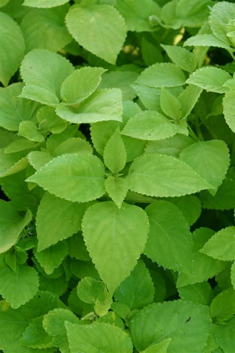 coleus lifelime solenostemon colorblaze 174 lifelime colorblaze 174 lifelime coleus on plantplaces com