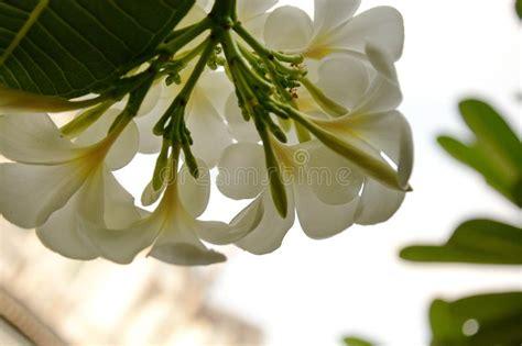 I fiori bianchi amano generalmente gli ambienti freschi e le zone in ombra (mughetto) o a mezz'ombra (gardenia, anemone e magnolia). Fiori Bianchi Delicati Con Il Centro Giallo Fotografia Stock - Immagine di yellow, purezza ...