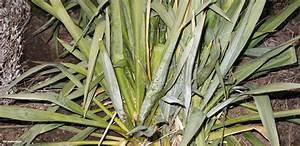 Yucca Palme Pflege : yucca palme arten yucca palme 26 fantastische bilder zur inspiration pflegeleichte yucca palme ~ Eleganceandgraceweddings.com Haus und Dekorationen