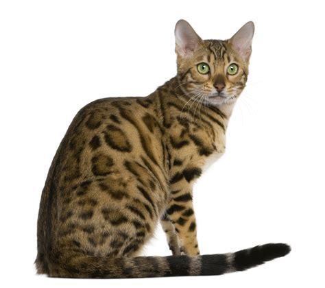 Cats Breeders by Bengal Breeders Australia Bengal Info Kittens