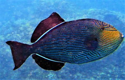 zihuatanejo ixtapa message board fish identification