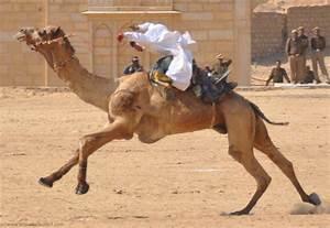 Course De Chameau : la fortune du chameau de course documentaire gratuit ~ Medecine-chirurgie-esthetiques.com Avis de Voitures