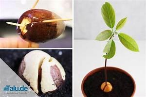 Avocado Baum Pflege : avocadokern einpflanzen so ziehen sie einen avocadobaum ~ Orissabook.com Haus und Dekorationen