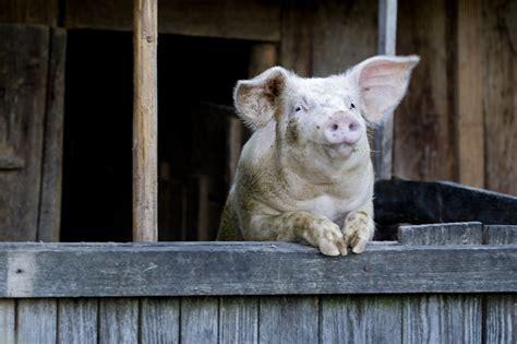 christophe cuisine noël en roumanie les traditions autour du cochon ideoz