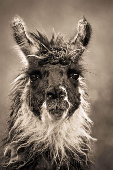 Wonderful Llama Photo by Llama Llamas I Give Up Pajamas And Alpacas