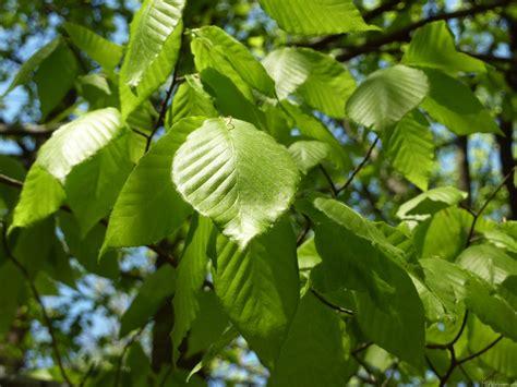 leaf tree mlewallpapers com spring birch leaves