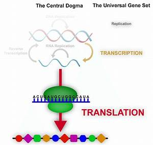 The Central Dogma Of Molecular Biology  Emphasizing The Contents Of