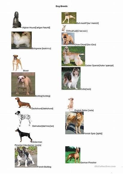 Dog Breeds Worksheets Worksheet English Esl Printable