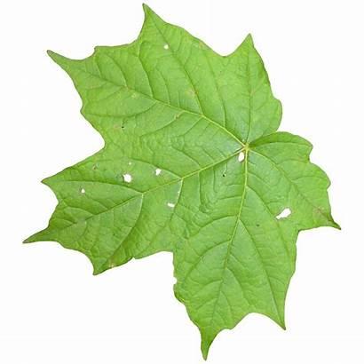 Leaf Transparent Texture Leaves Vine Icon Textures