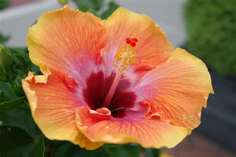 Hibiscus Flower Backgrounds by Flowers Hibiscus Wallpapers Hd Desktop And Mobile