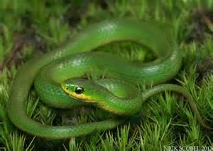 Smooth Green Snake Michigan