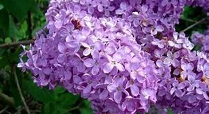 Bouture Plante Verte : comment faire une bouture de lilas truc de grand m re jardin pinterest comment faire ~ Melissatoandfro.com Idées de Décoration