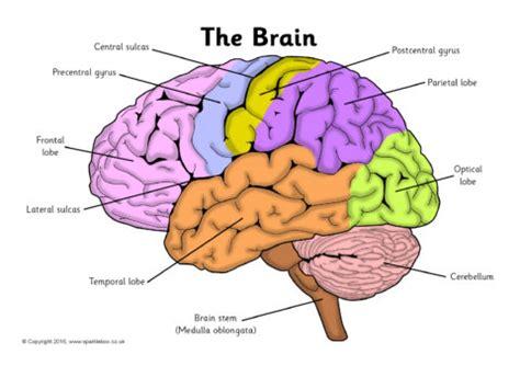 Label Brain Diagram related items
