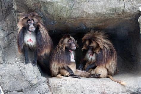 Bleeding Heart Baboons | Wild View
