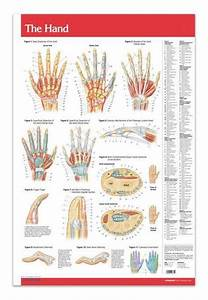 Hand Joints Articulations Poster 24 U0026quot  X 36 U0026quot  Laminated