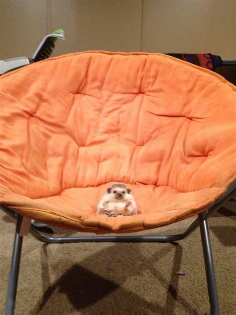cute adorable fat hedgehog seat hedgie prickles