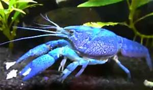 All About Aquarium Fish Crayfish Info How to Care What