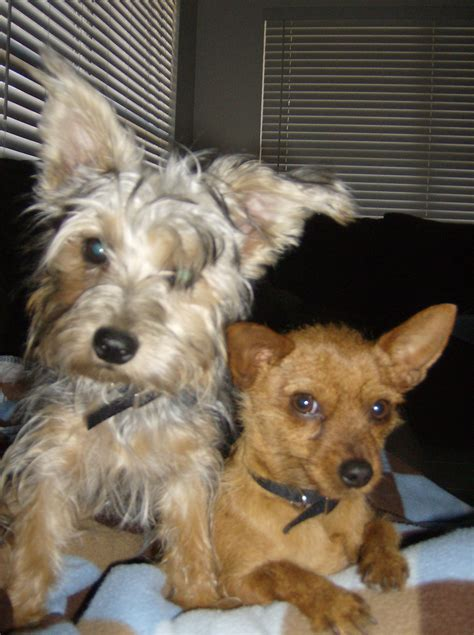 silky pin miniature pinscher  silky terrier mix