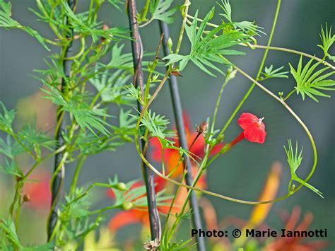 cardinal climber cardinal climber flowering vine ipomoea sloteri