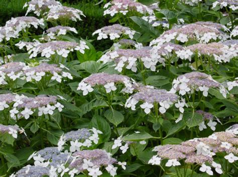 lacecap hydrangea pruning 301 moved permanently