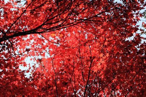 รูปภาพฟรี: ใบสีแดง, ต้นไม้, ฤดูใบไม้ร่วง, สาขา
