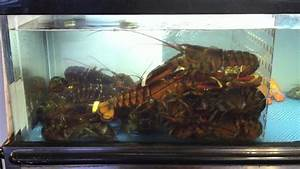 Lobster tank at Rockland Cafe - YouTube