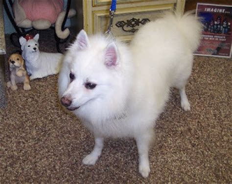 American Eskimo Shedding Problem by The Healthy Grooming The American Eskimo